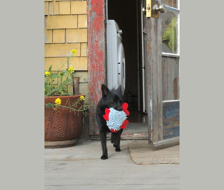 Photo of Renard, a Pomeranian, Russell-type Terrier, and Mixed mix in Santa Cruz, California, USA