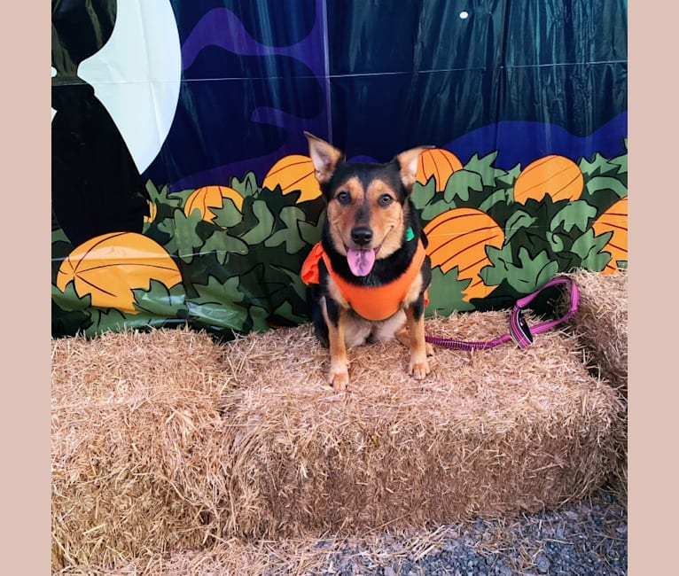 Photo of Luna, an Australian Cattle Dog, Labrador Retriever, American Foxhound, and Mixed mix in Chantilly, Virginia, USA