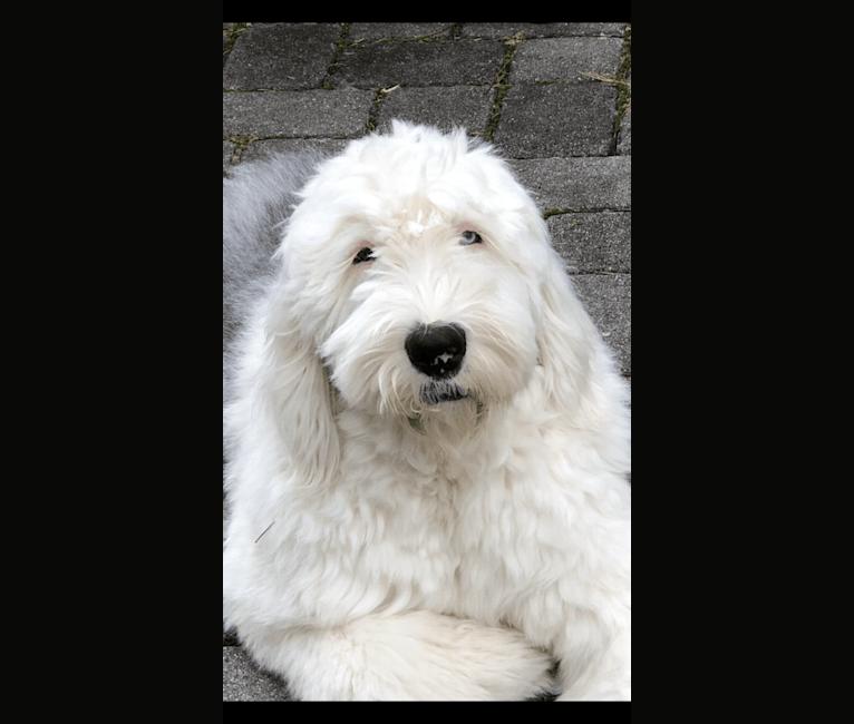 Photo of Bubba, an Old English Sheepdog  in South Korea