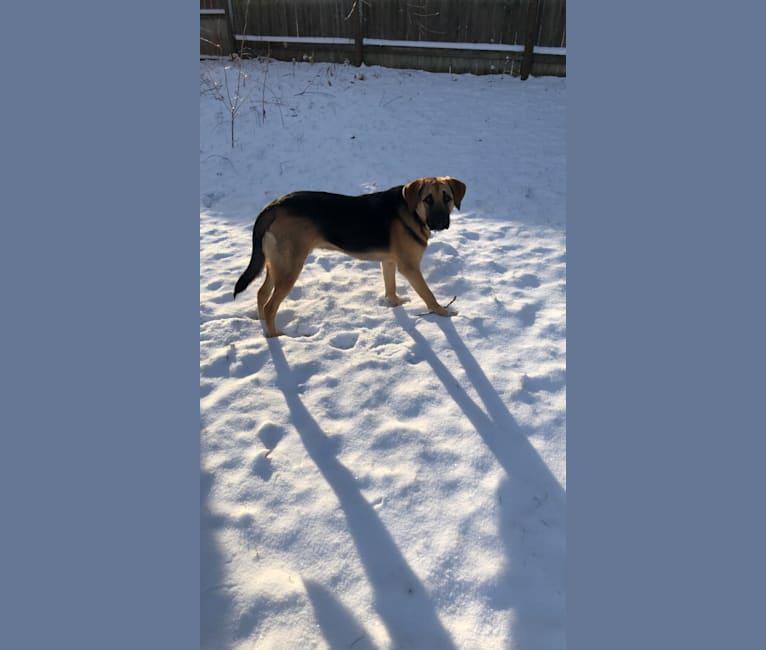 Photo of Oak, a Bloodhound, Mastiff, Australian Cattle Dog, German Shepherd Dog, and Mixed mix in South Dakota, USA