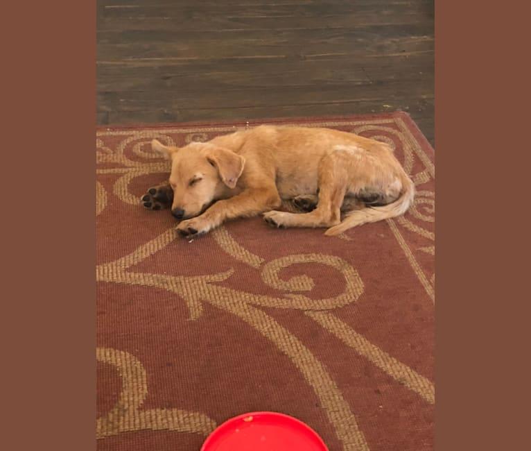 Photo of Kit, a Chow Chow, Labrador Retriever, and Siberian Husky mix