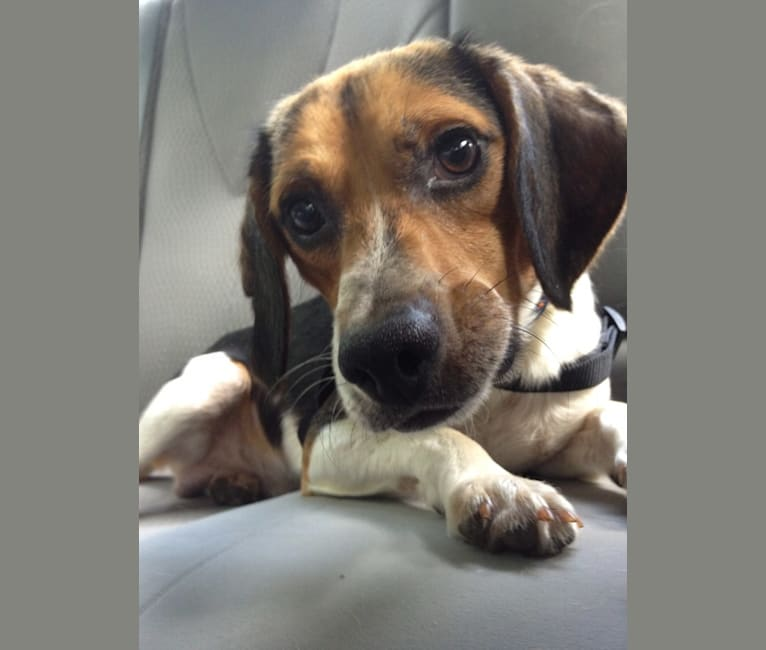 Photo of Bone-Z, a Beagle  in Cincinnati, Ohio, USA