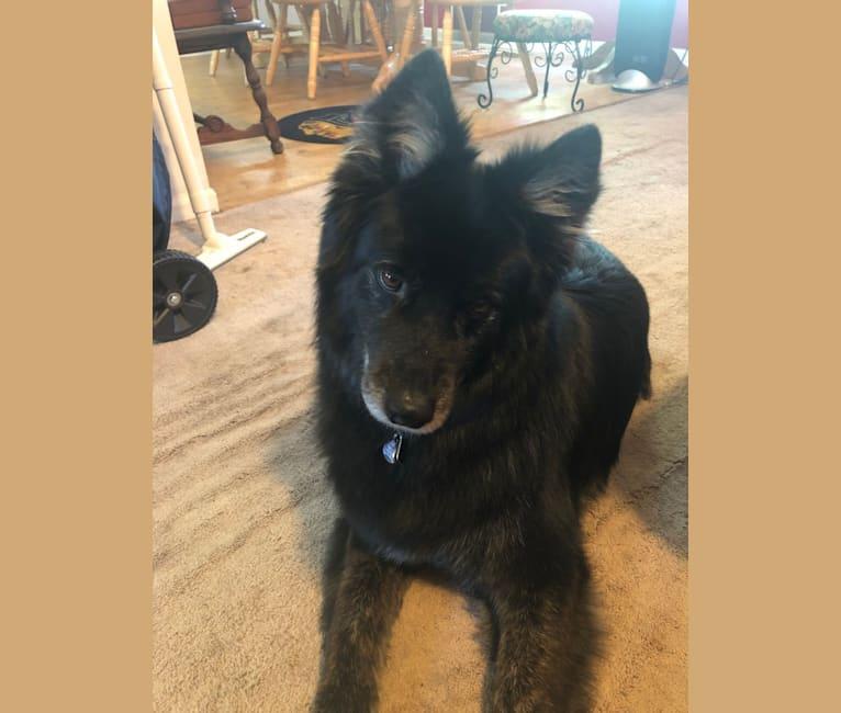 Photo of Shep, a German Shepherd Dog, Siberian Husky, Australian Cattle Dog, and Mixed mix in Bartlett, Illinois, USA
