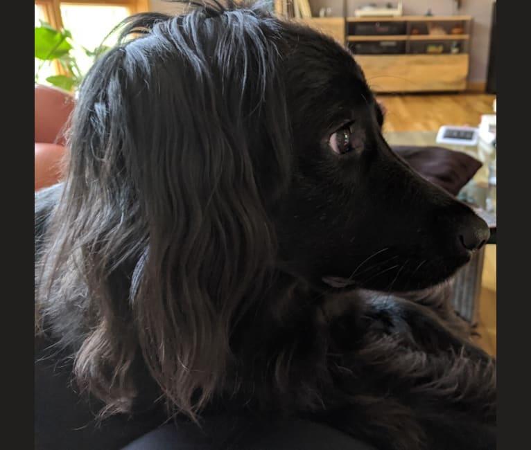 Photo of Mango, a Boxer, Australian Cattle Dog, German Shepherd Dog, Chow Chow, Labrador Retriever, and Mixed mix in Mt Kisco, New York, USA