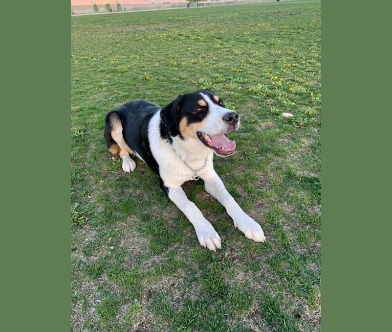 Photo of Beau, a Greater Swiss Mountain Dog, Great Pyrenees, and Maremma Sheepdog mix in Provo, Utah, USA