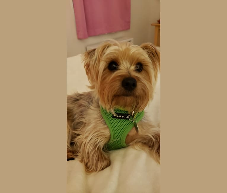 Photo of Loki, a Yorkshire Terrier  in New York, New York, USA