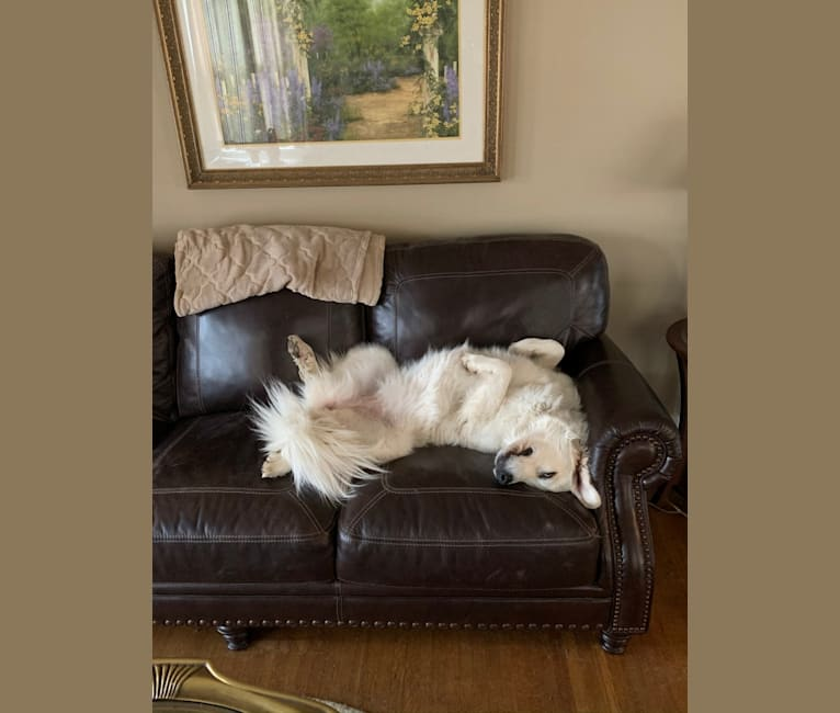 Photo of Rose, a Great Pyrenees  in Campbellsville, KY, USA
