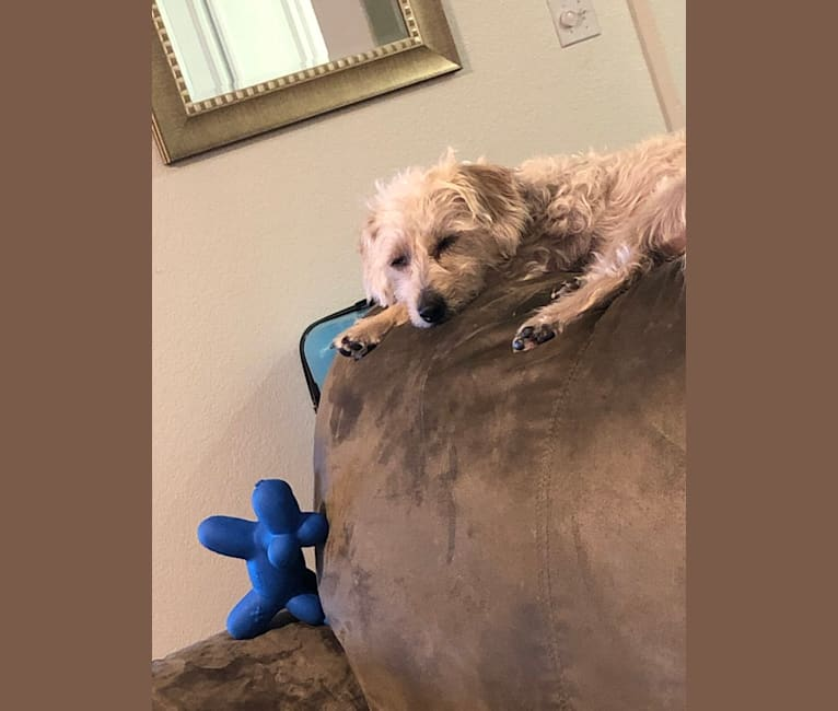 Photo of Charlie Boy, a Poodle (Small), Rat Terrier, Dachshund, and Chihuahua mix in Ripon, California, USA