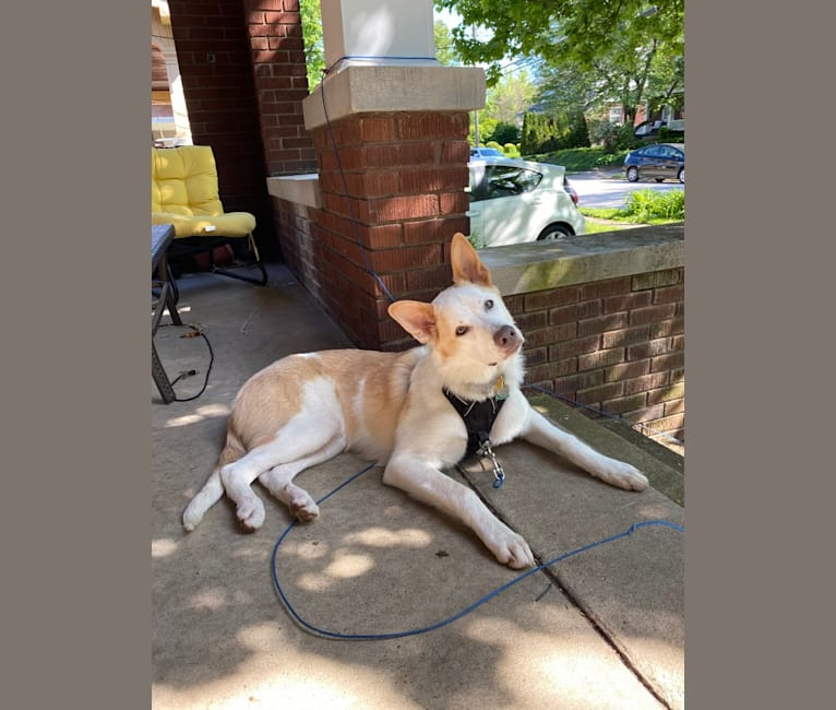 Photo of Leo, a German Shepherd Dog, Great Pyrenees, and American Pit Bull Terrier mix in Lexington, Kentucky, USA