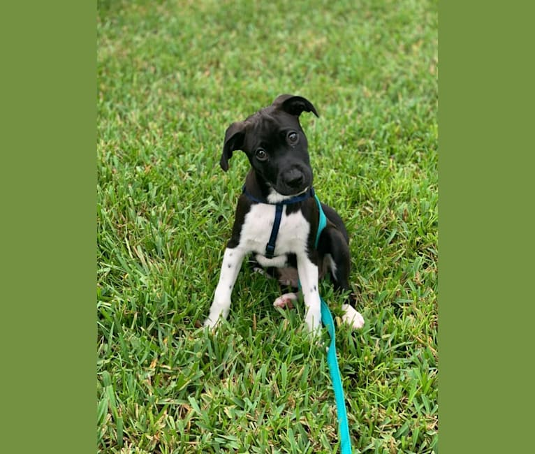 Photo of Benji, an American Pit Bull Terrier, Chihuahua, Rottweiler, Dalmatian, Shih Tzu, and Mixed mix in Puerto Rico