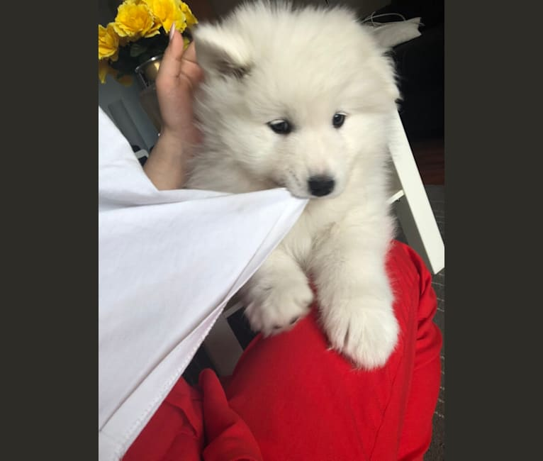 Photo of Fluffy, a Samoyed  in Château-Richer, QC, Canada