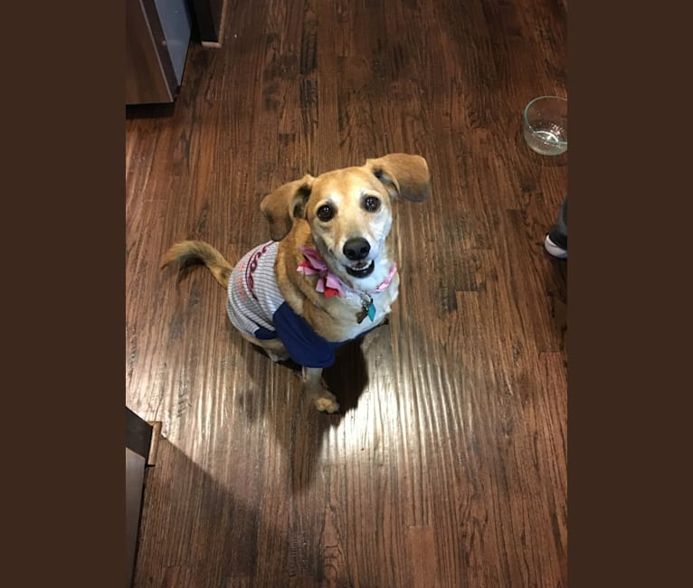 Photo of Sophie, a Mountain Cur and Mixed mix in Nashville, Tennessee, USA