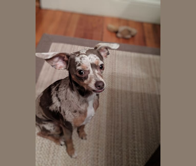 Photo of Rita, a Chihuahua, Dachshund, and Rat Terrier mix in Little Rock, Arkansas, USA