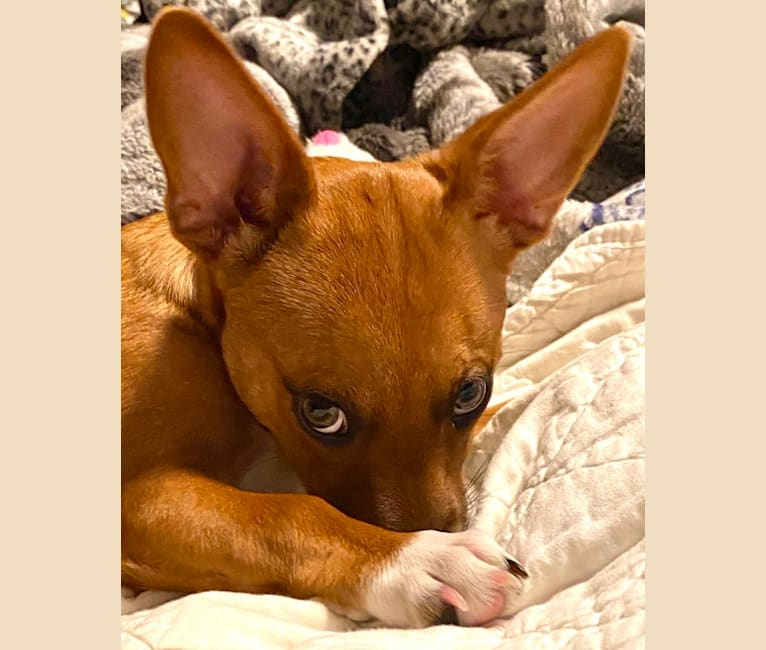 Photo of Scarlet, an Australian Cattle Dog, Chihuahua, American Pit Bull Terrier, and Mixed mix in Corona, California, USA