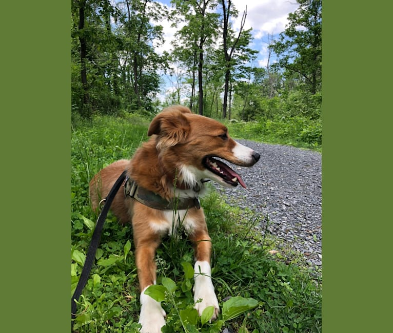 Photo of Westley, a Staffordshire Terrier and Australian Cattle Dog mix in Tennessee, USA