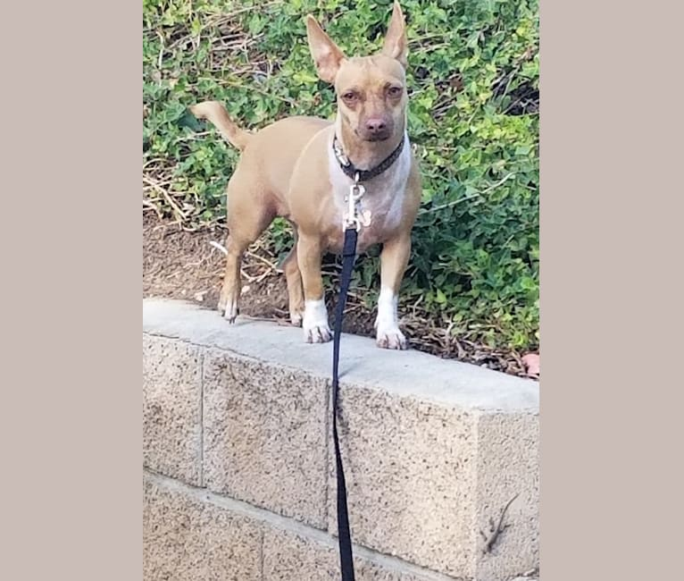 Photo of Theo, a Chihuahua and Mixed mix in Corcoran, California, USA