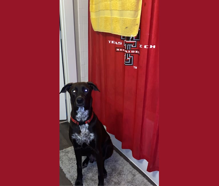 Photo of Raider, a Doberman Pinscher and Golden Retriever mix in Lubbock, Texas, USA