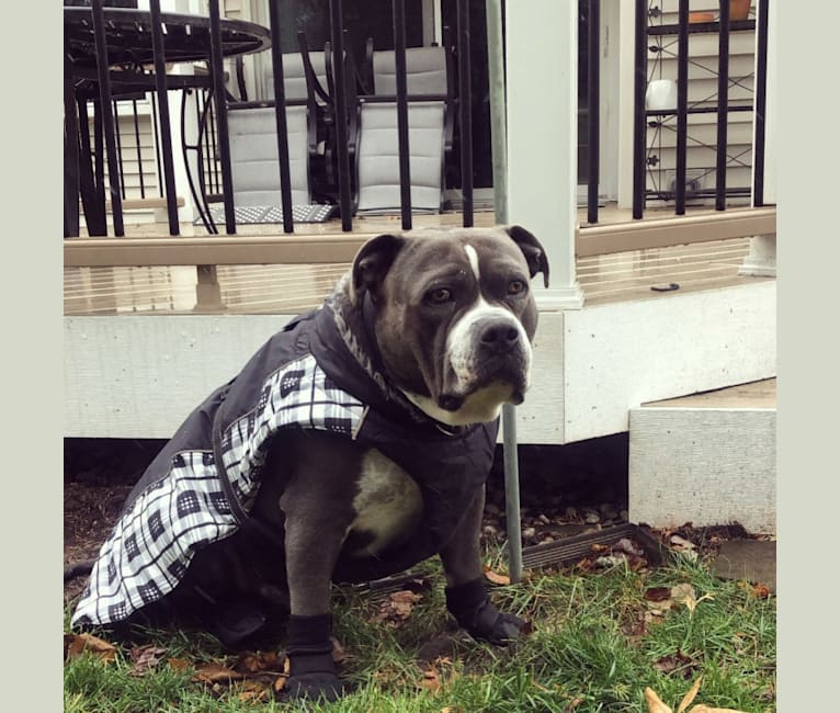 Photo of Higgins, an American Bully  in Lancaster, California, USA