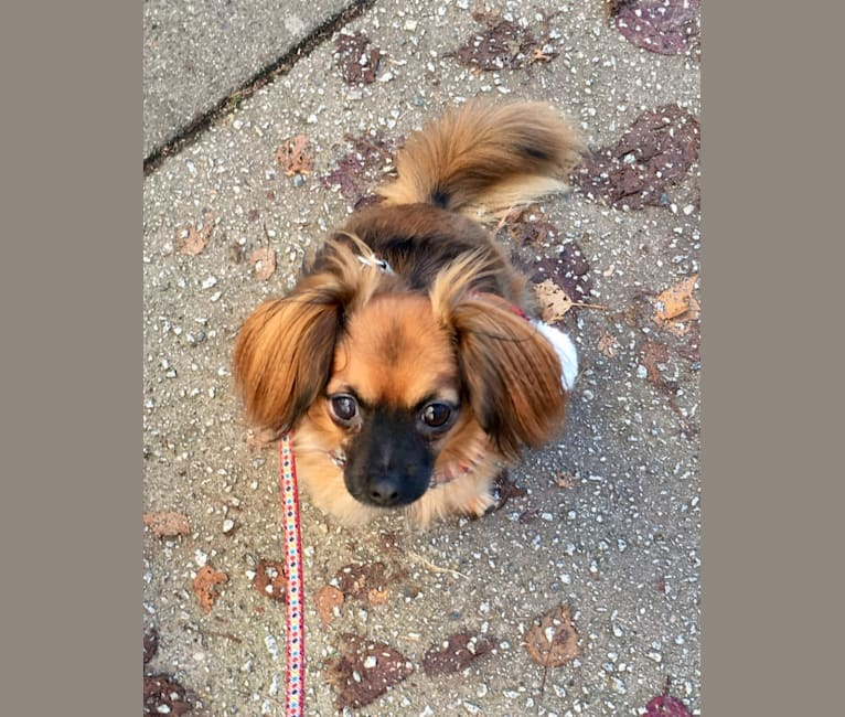 Photo of Finn, a Chihuahua, Dachshund, Poodle (Small), Pomeranian, and Mixed mix in Vancouver, British Columbia, Canada