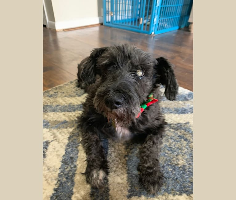 Photo of Jo Ko, a Miniature Schnauzer  in Jacksonville, Florida, USA