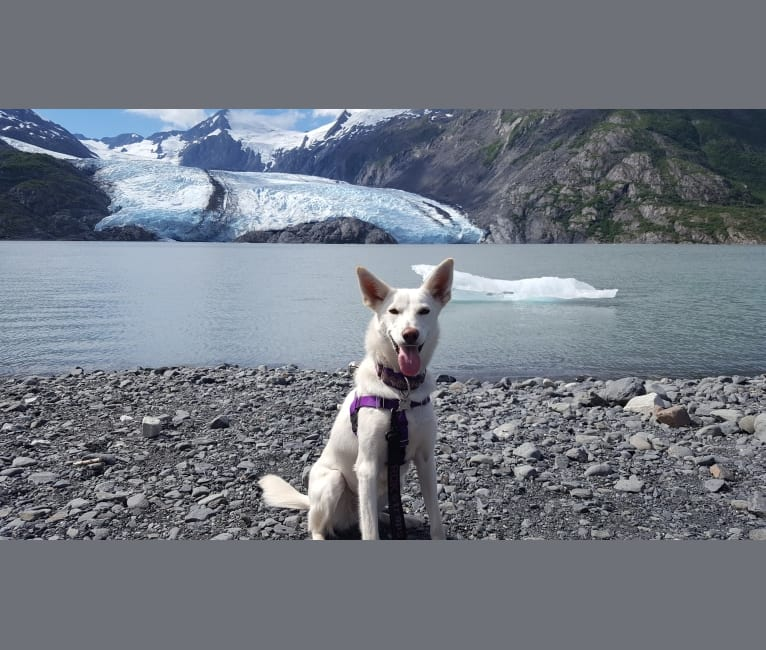 Photo of Bibby, an Alaskan-type Husky  in Alaska, USA