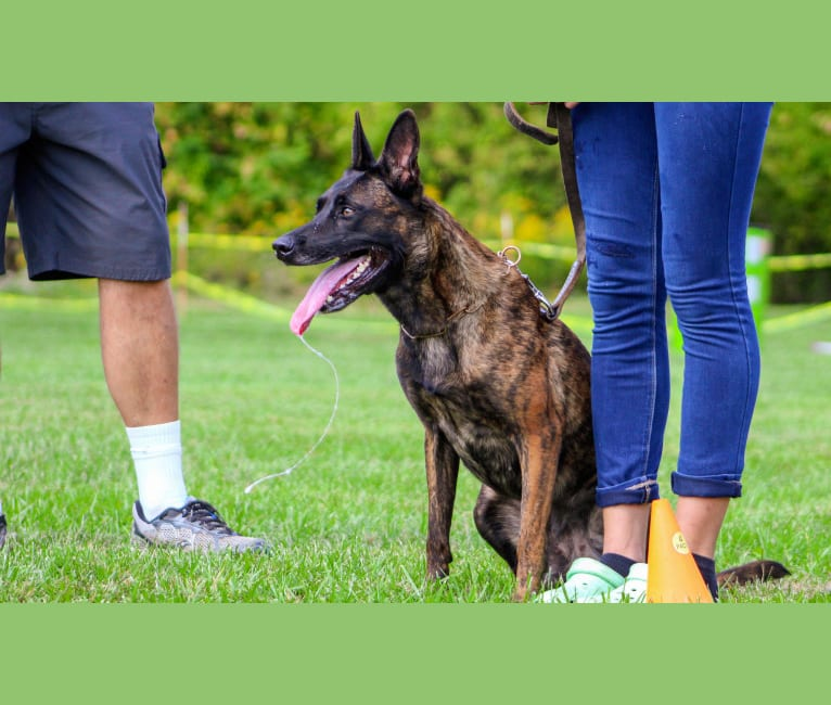 Photo of Devani, a Belgian Malinois and Dutch Shepherd mix in Springfield, MO, USA