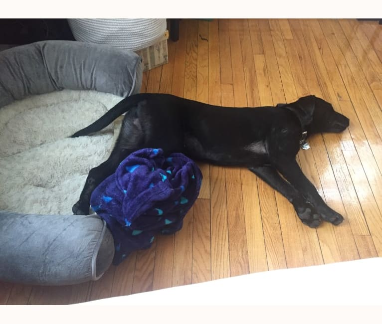 Photo of Rhett Butler, a Labrador Retriever, American Pit Bull Terrier, and American Staffordshire Terrier mix in Mississippi, USA