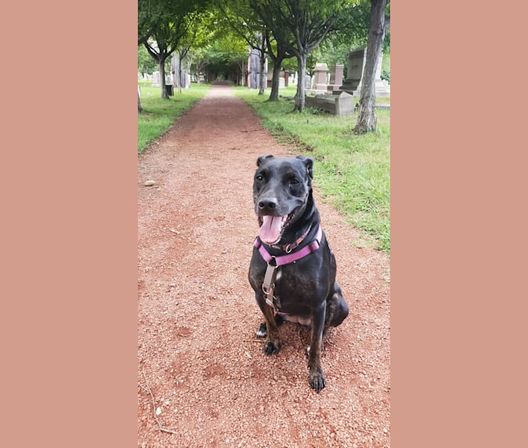 Photo of Penny, a Catahoula Leopard Dog, Australian Cattle Dog, American Pit Bull Terrier, and Mixed mix in Fort Worth, TX, USA