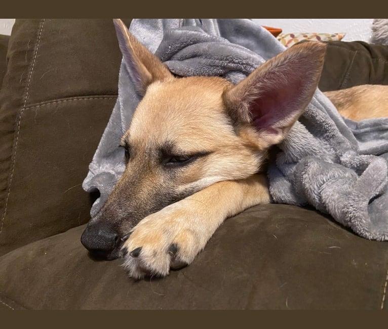 Photo of Maeby, a German Shepherd Dog, Australian Cattle Dog, Miniature Schnauzer, and Beagle mix in Dallas, Texas, USA