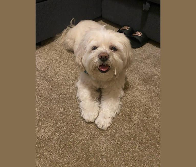 Photo of Ollie, a Lhasa Apso  in San Antonio, Texas, USA