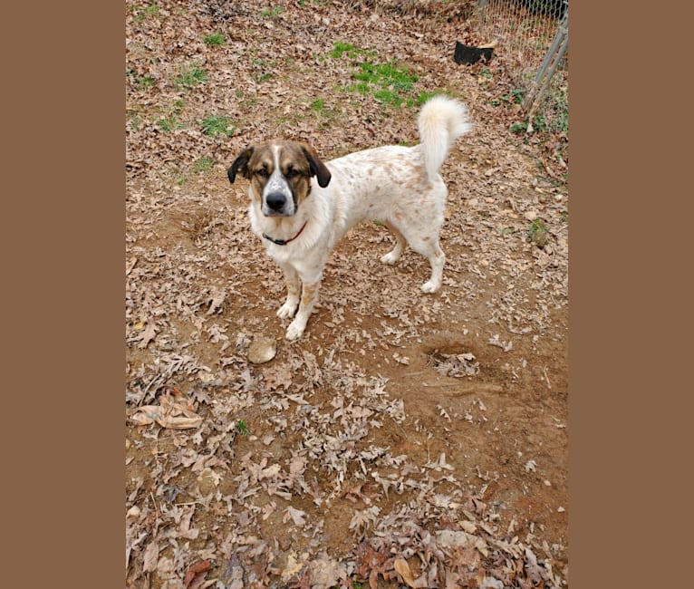 Photo of Daisy, a Great Pyrenees mix in New Tazewell, Tennessee, USA