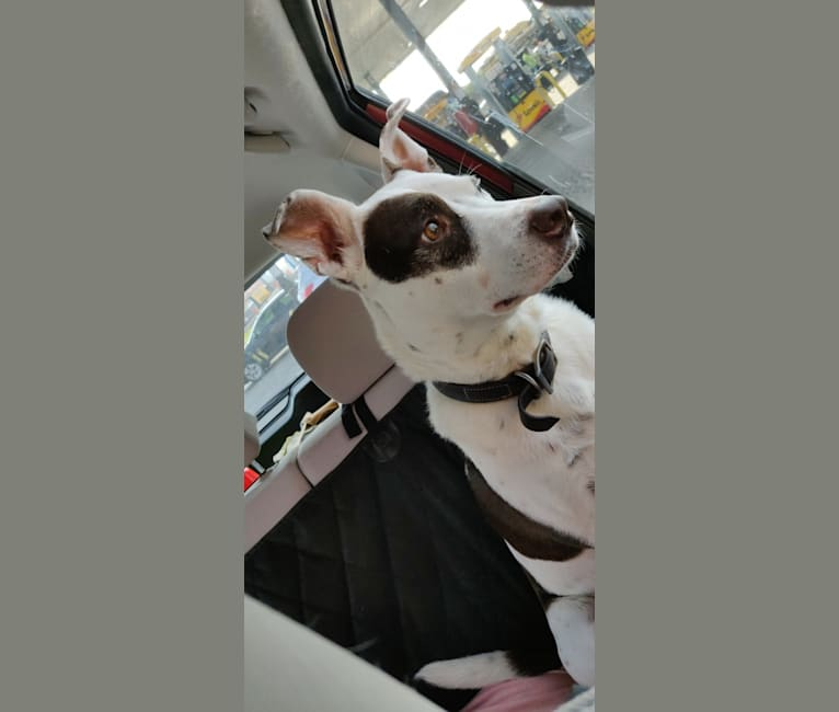 Photo of Miles, an American Pit Bull Terrier, Australian Cattle Dog, and Mixed mix in Fayetteville, Arkansas, USA