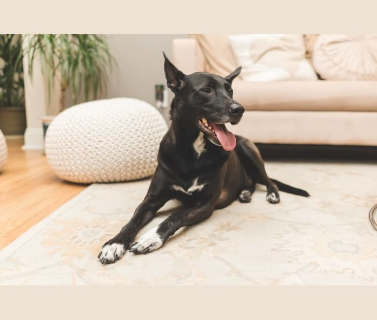 Photo of Bandit, an American Pit Bull Terrier, Chow Chow, Australian Cattle Dog, Labrador Retriever, Beagle, and Mixed mix in SF, California, USA