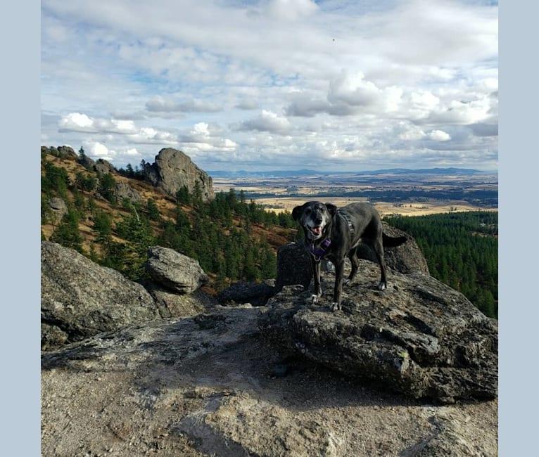 Photo of Charlotte, a Labrador Retriever and Golden Retriever mix in Spokane, Washington, USA