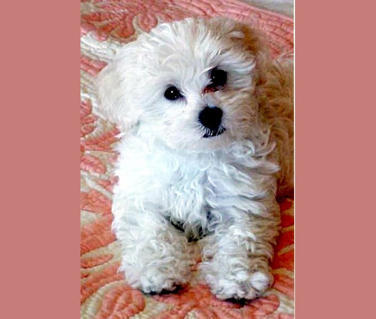 Photo of Sweetie, a Poodle (Small), Bichon Frise, Shih Tzu, Yorkshire Terrier, and Pekingese mix in Mission, British Columbia, Canada