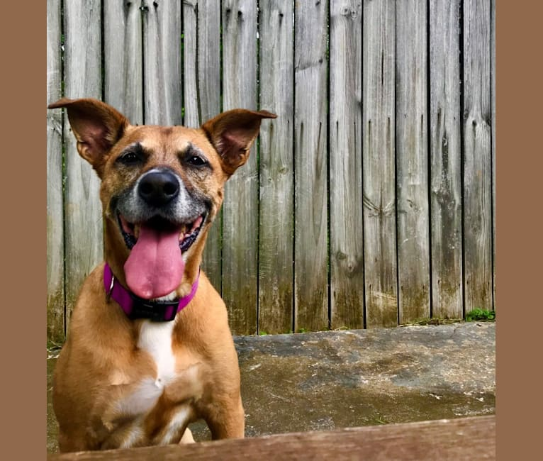 Photo of Bailey, a Boxer, American Pit Bull Terrier, Labrador Retriever, Australian Cattle Dog, and Chow Chow mix in Raleigh, North Carolina, USA