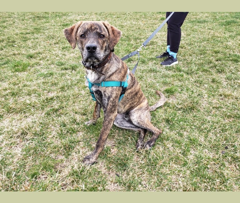 Photo of Brindley, a Great Pyrenees, Catahoula Leopard Dog, Golden Retriever, German Shepherd Dog, and Mixed mix in Macon, Mississippi, USA