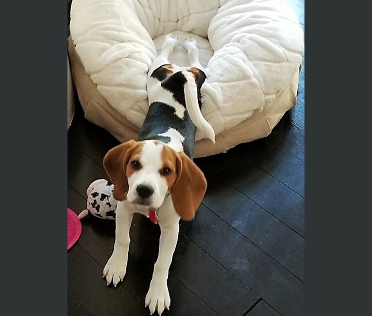Photo of Snoopy, a Beagle  in Los Angeles, CA, USA