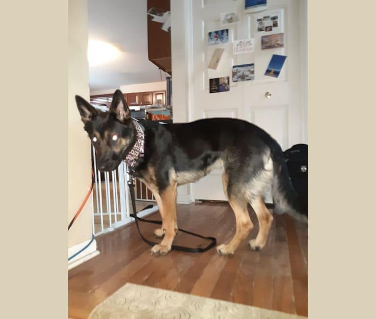 Photo of Petra, a German Shepherd Dog and Australian Cattle Dog mix in Durand, Michigan, USA