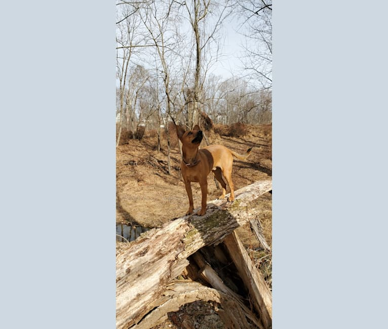 Photo of Pip, a Miniature Pinscher, Chihuahua, Russell-type Terrier, and Mixed mix in West Virginia, USA