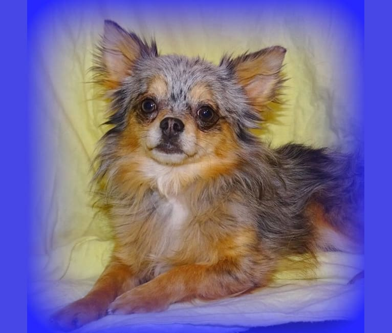 Photo of Merlin, a Chihuahua