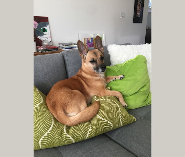 Photo of Daisy, a Rottweiler, American Eskimo Dog, Lhasa Apso, Akita, Cocker Spaniel, German Shepherd Dog, and Mixed mix in Vancouver, British Columbia, Canada