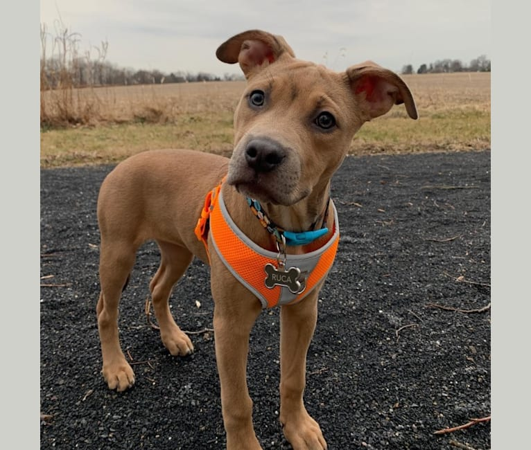 Photo of Ruca, an American Pit Bull Terrier, Boxer, and Mixed mix in Mississippi, USA