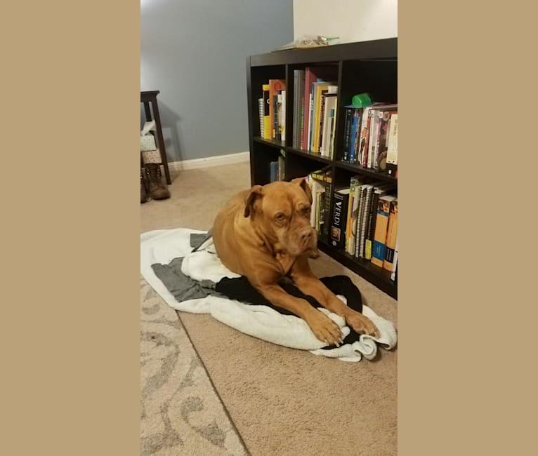Photo of Arya, a Dogue de Bordeaux  in Austin, Texas, USA