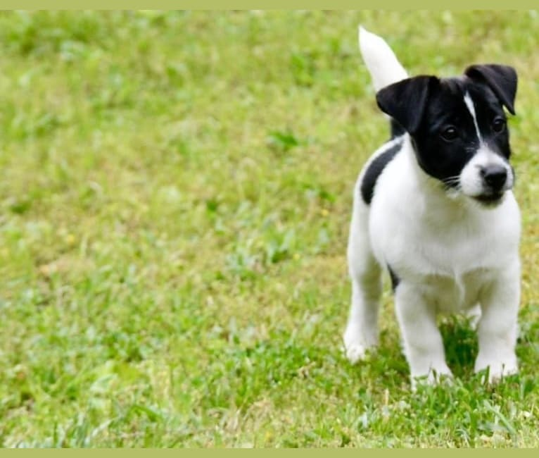 Photo of Oreo, a Russell-type Terrier