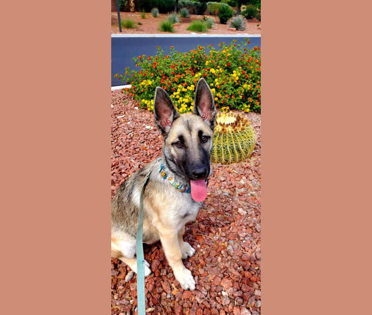 Photo of Ripley, a Belgian Malinois and Siberian Husky mix in Las Vegas, Nevada, USA