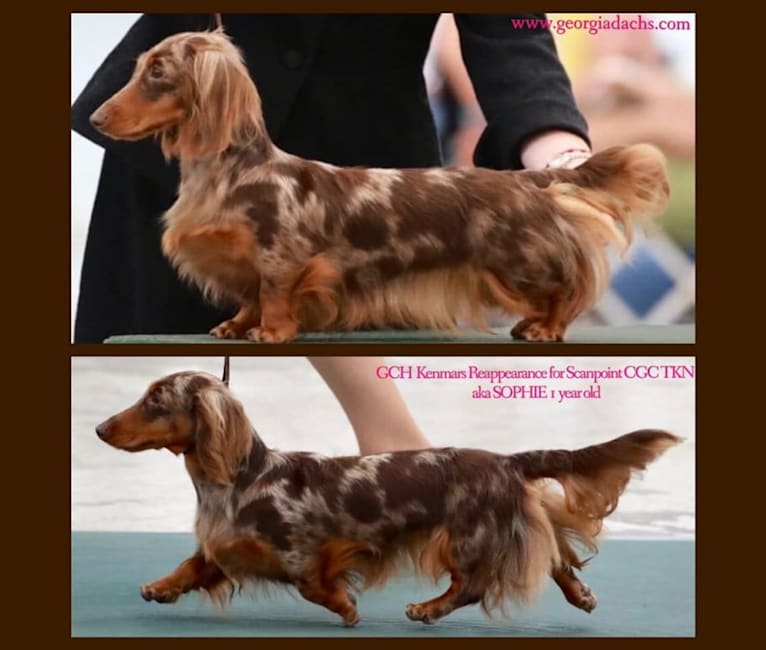 Photo of Sophie, a Dachshund  in Florida, USA