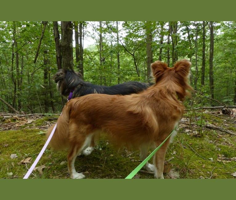 Photo of Kaylee, a Labrador Retriever, Samoyed, German Shepherd Dog, and Boxer mix in Pennsylvania, USA