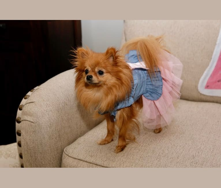 Photo of Diva, a Pomeranian  in Missouri, USA