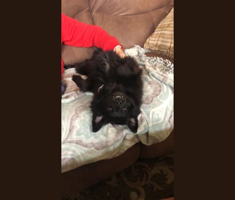 Photo of Pebbles, a Poodle (Small), Pomeranian, Pekingese, and Yorkshire Terrier mix in Waynesboro, Virginia, USA